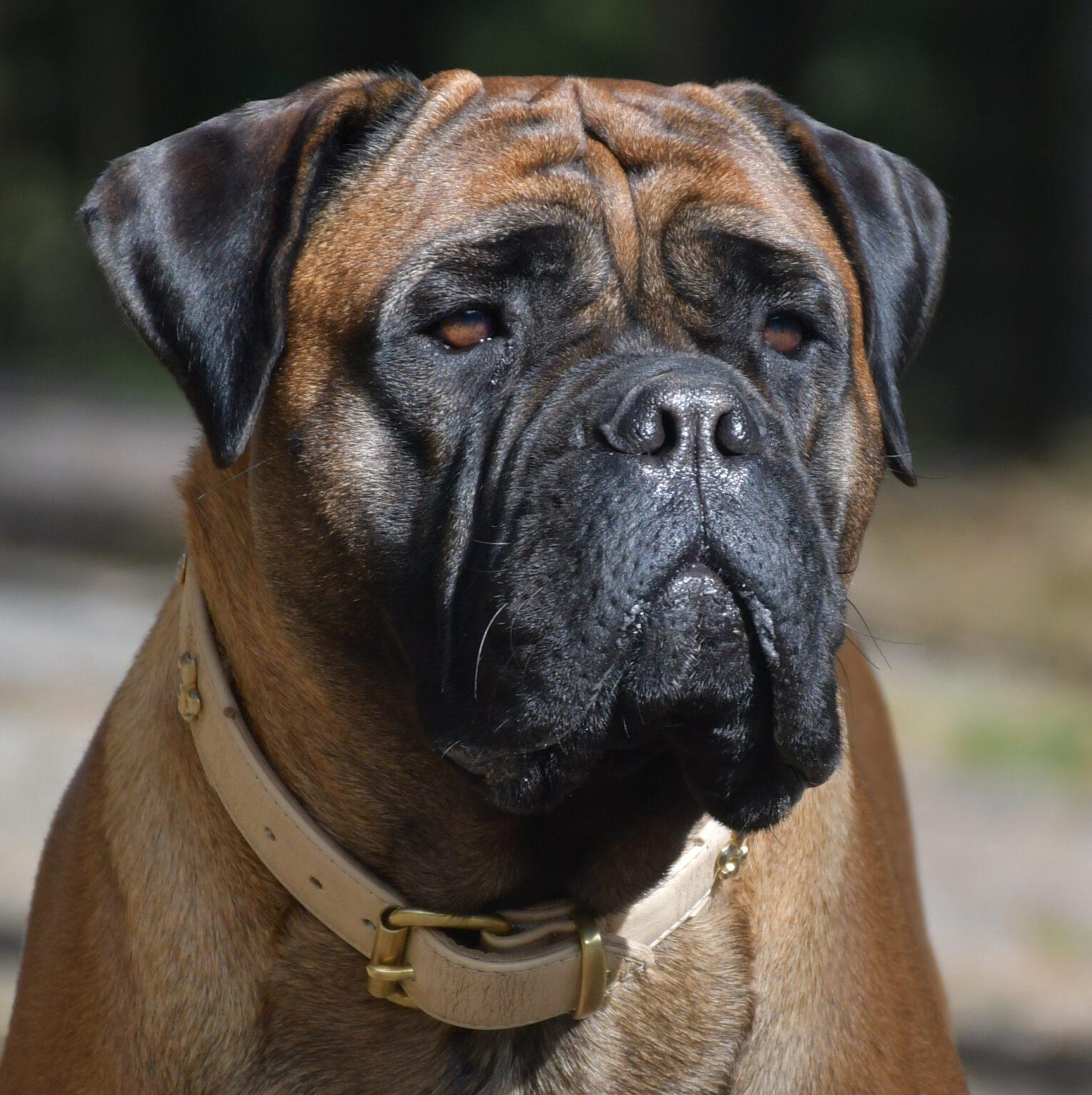 Aktuell – Bullmastiff of Franconian Shamrock